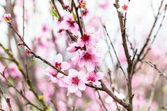 Pink flowers on peach tree Royalty Free Stock Images