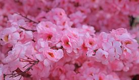 Pink flowers of a peach tree in spring Royalty Free Stock Image
