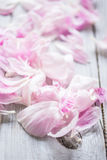 Pink flowers of peonies Royalty Free Stock Photography