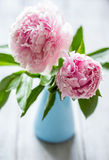 Pink flowers of peonies Stock Images