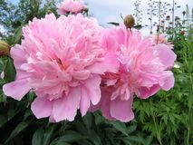 Pink flowers of peony. Close up of gentle pink peony in garden Royalty Free Stock Photo