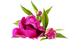 Pink flowers of peony isolated on white background Royalty Free Stock Images