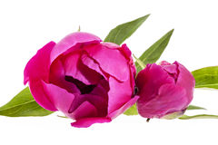 Pink flowers of peony isolated on white background. Stock Image