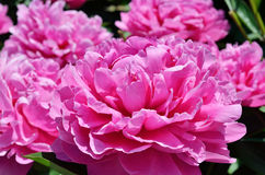 Pink flowers of peony Royalty Free Stock Photos