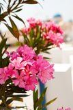 Pink flowers in Perissa, Santorini, Greece Royalty Free Stock Photos