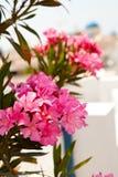 Pink flowers in Perissa, Santorini, Greece royalty free stock photos