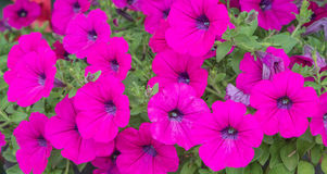 Pink Flowers. Pink Petunia Flowers in The Garden Stock Photography