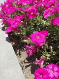Pink flowers petunia summer sunny day stock photos