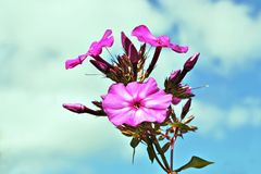 Pink flowers of phlox. Stock Photos