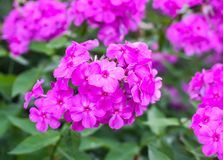 Flowers of Phlox subulata plants growing in summer park in countryside. Pink flowers of Phlox subulata plants growing in summer park in countryside royalty free stock images