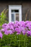 Pink flowers of Phlox subulata plants growing in summer park in countryside. Pink flowers of Phlox subulata plants growing near the old rural house in stock image