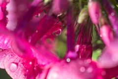 pink flowers Phlox with water drops after the fresh rain. Still life. Spring background. Extream closeup macro shot Royalty Free Stock Photography