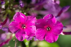 2 pink flowers Phlox with water drops after the fresh rain. Still life. Spring background. Extream closeup macro shot Royalty Free Stock Images