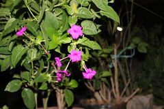 Pink flowers. Photography out door Royalty Free Stock Photography