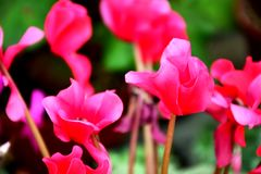 Pink flowers. Are bushes stand out in the middle of the garden, the natural beauty of flowers Stock Images