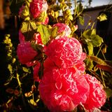 Pink flowers. Lavatera,  in evening lights Stock Photography