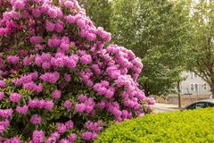 Beautiful pink flowers in front of house stock photo