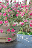 Pink flowers in plant pot Stock Photos
