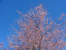 Pink flowers on plum tree. Blooming plum tree against blue sky Royalty Free Stock Photography