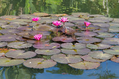 Pink flowers on a pond Stock Image