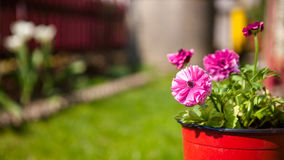 Pink flowers in the pot Stock Photography