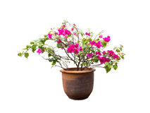Pink flowers are in the pot. Royalty Free Stock Photos