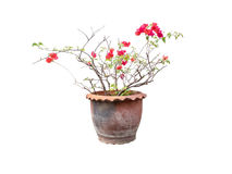 Pink flowers are in the pot. Royalty Free Stock Photo
