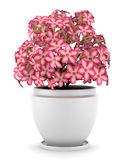 Pink flowers in pot isolated on white Stock Photo
