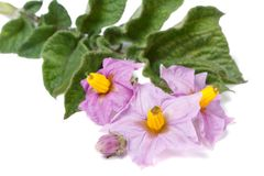 Pink flowers of potato closeup isolated on white Stock Photo