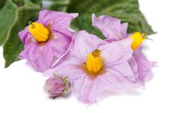 Pink flowers of potato macro isolated on white Royalty Free Stock Photography