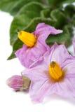 Pink flowers of potato macro  vertical Stock Photography