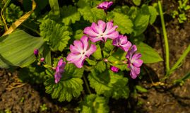 Pink flowers Primroses in early spring in the garden stock photography