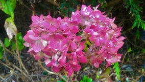 Pink flowers, Punta del Este royalty free stock photography