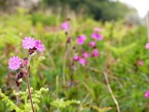 Pink flowers of the red campion or red catchfly Silene dioica wildflower with a blurred background stock photos