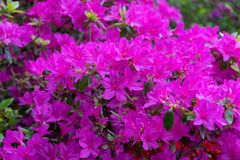 Pink flowers of Rhododendron, Azalea as nature background stock images