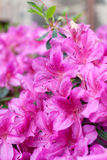 Pink flowers of a rhododendron Royalty Free Stock Photo