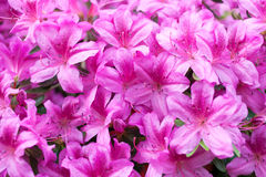 Pink flowers of a rhododendron Stock Images