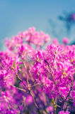 Pink flowers of a rhododendron Royalty Free Stock Images