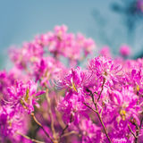 Pink flowers of a rhododendron Stock Photo