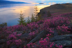 Pink flowers of rhododendron on sunrise background in spring. Morning at lake Baikal coast Stock Photo