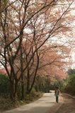 Pink flowers on the road side. Beautiful pink flowers tree line on the road side Stock Photo