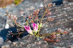Pink flowers on Rock at Lan Hin Tak  Natural split of rock Stock Images