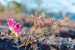 Pink flowers on Rock at Lan Hin Tak  Natural split of rock Royalty Free Stock Images