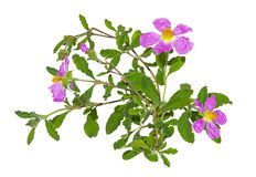 Pink flowers of the Rockrose or Cistus albidus Stock Images