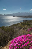 Pink flowers on rocky Corsican coast with Calvi in distance Royalty Free Stock Image