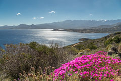 Pink flowers on rocky Corsican coast with Calvi in distance Stock Images