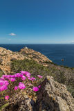 Pink flowers on rocky Corsican coast with lightouse in distance Royalty Free Stock Photos