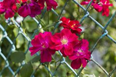 Pink flowers Rosa rubiginosa in metal fence. Pink flowers Rosa rubiginosa sweet briar, sweetbriar rose, sweet brier or eglantine grow through old metal fence Royalty Free Stock Image