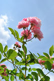 The pink flowers of rose against light blue sky Royalty Free Stock Image
