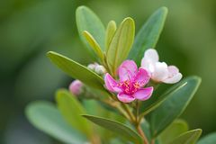 Pink flowers of Rose Myrtle growing in Singapore, Asia Rhodomyrtus tomentosa. Aiton Hassk royalty free stock image